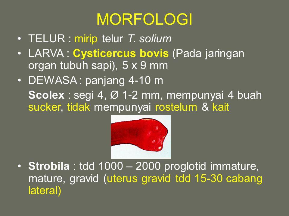 MORFOLOGI TELUR : mirip telur T. solium LARVA : Cysticercus bovis (Pada jaringan organ tubuh sapi), 5 x 9 mm DEWASA : panjang 4-10 m Scolex : segi 4,