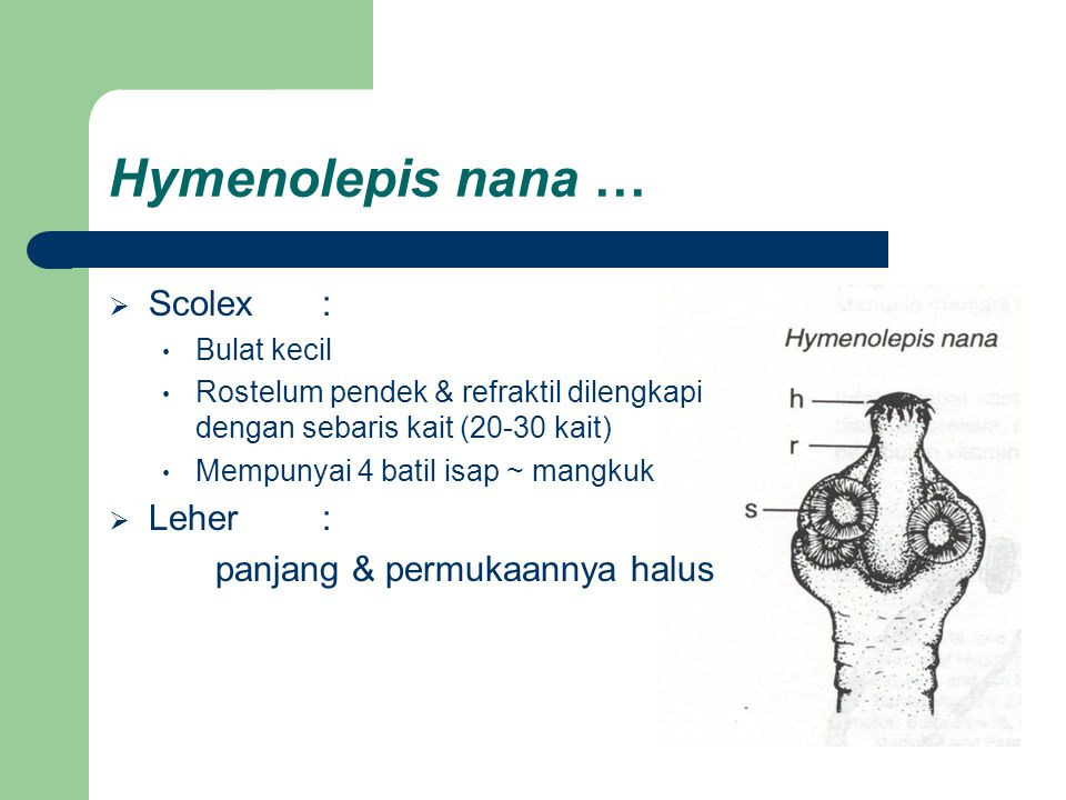 Hymenolepis nana …  Scolex: Bulat kecil Rostelum pendek & refraktil dilengkapi dengan sebaris kait (20-30 kait) Mempunyai 4 batil isap ~ mangkuk  Le