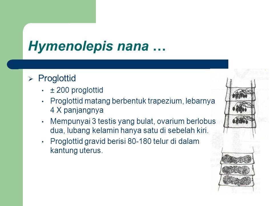 Hymenolepis nana …  Proglottid ± 200 proglottid Proglottid matang berbentuk trapezium, lebarnya 4 X panjangnya Mempunyai 3 testis yang bulat, ovarium