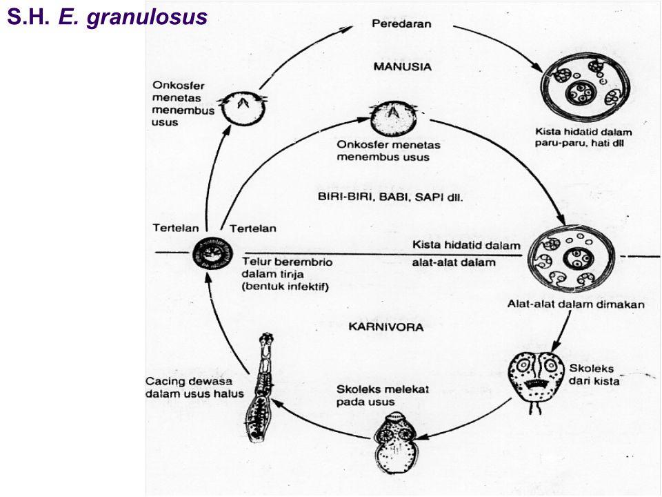 S.H. E. granulosus