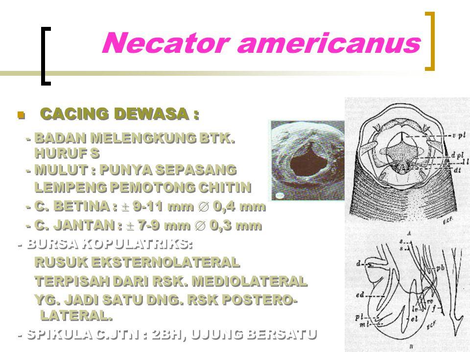 Necator americanus CACING DEWASA : - BADAN MELENGKUNG BTK. HURUF S - MULUT : PUNYA SEPASANG LEMPENG PEMOTONG CHITIN - C. BETINA :  9-11 mm  0,4 mm -