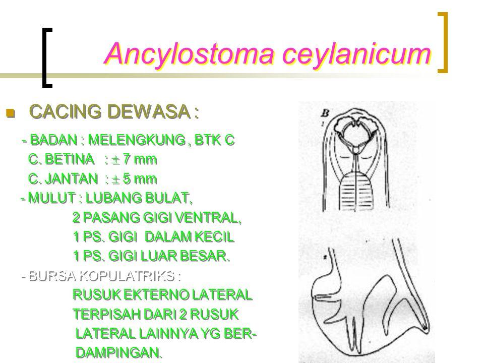 Ancylostoma ceylanicum CACING DEWASA : - BADAN : MELENGKUNG, BTK C C. BETINA :  7 mm C. JANTAN :  5 mm - MULUT : LUBANG BULAT, 2 PASANG GIGI VENTRAL