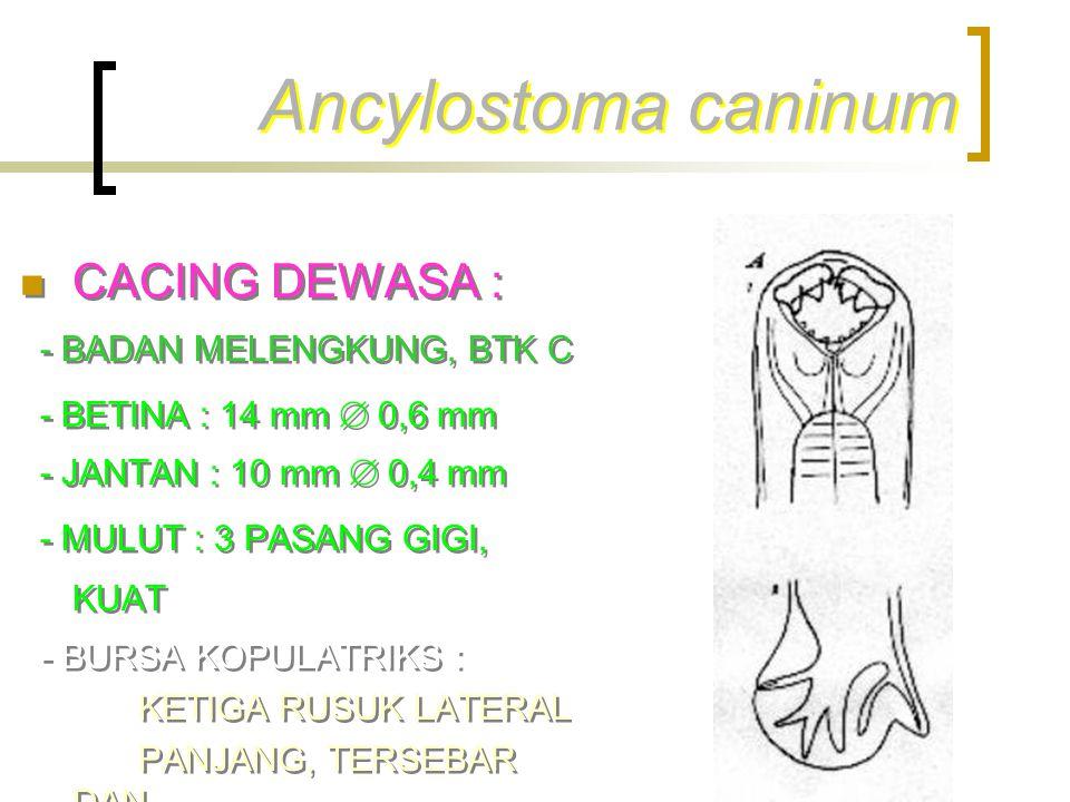 Ancylostoma caninum CACING DEWASA : - BADAN MELENGKUNG, BTK C - BETINA : 14 mm  0,6 mm - JANTAN : 10 mm  0,4 mm - MULUT : 3 PASANG GIGI, KUAT - BURS