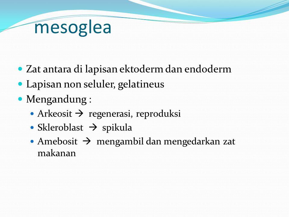 mesoglea Zat antara di lapisan ektoderm dan endoderm Lapisan non seluler, gelatineus Mengandung : Arkeosit  regenerasi, reproduksi Skleroblast  spikula Amebosit  mengambil dan mengedarkan zat makanan