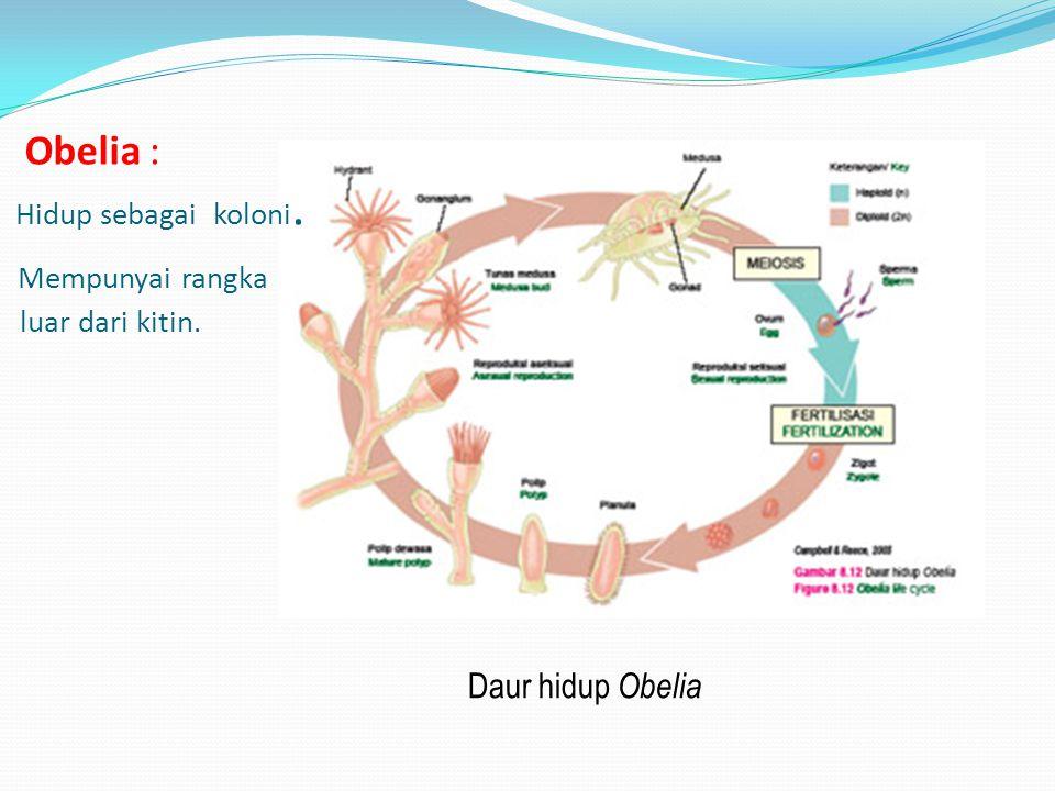 Obelia : Hidup sebagai koloni. Mempunyai rangka luar dari kitin. Daur hidup Obelia