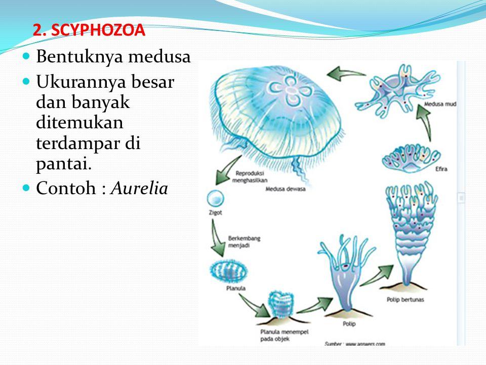 2.SCYPHOZOA Bentuknya medusa Ukurannya besar dan banyak ditemukan terdampar di pantai.