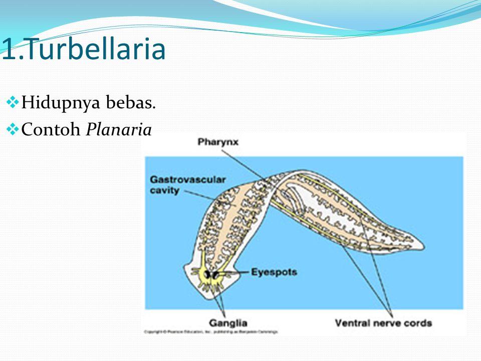 1.Turbellaria  Hidupnya bebas.  Contoh Planaria