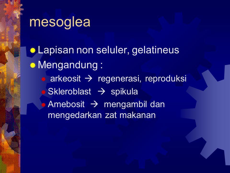mesoglea  Lapisan non seluler, gelatineus  Mengandung :  arkeosit  regenerasi, reproduksi  Skleroblast  spikula  Amebosit  mengambil dan menge