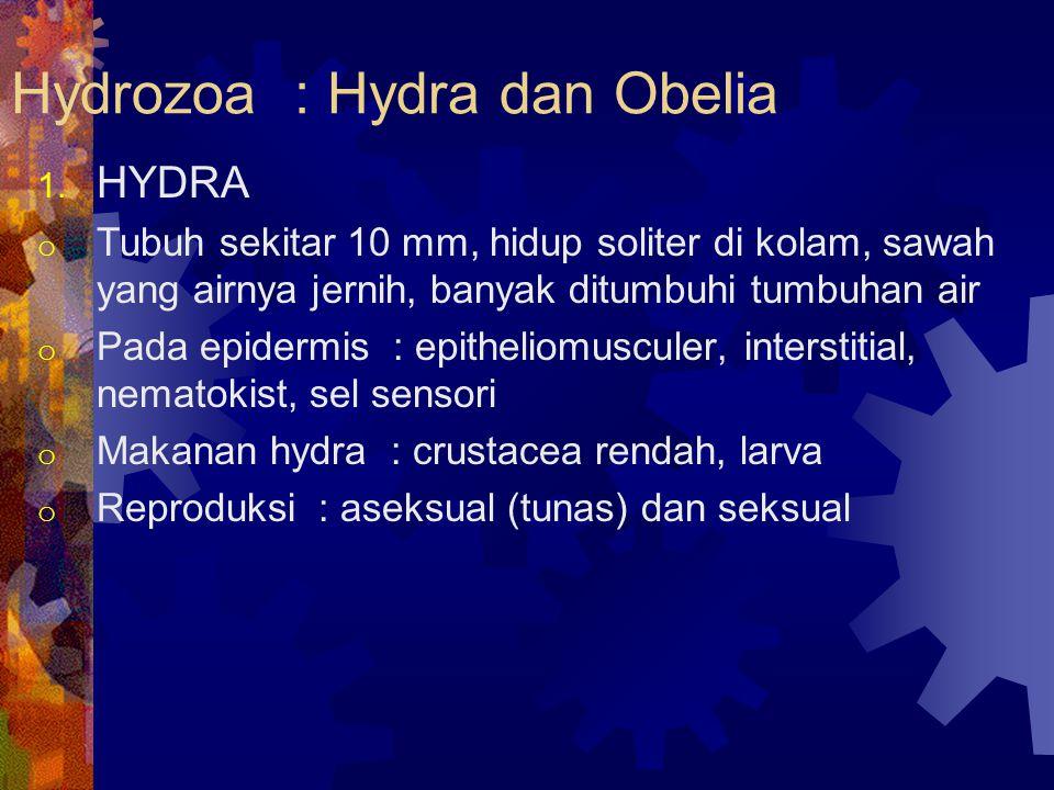 Hydrozoa : Hydra dan Obelia 1. HYDRA o Tubuh sekitar 10 mm, hidup soliter di kolam, sawah yang airnya jernih, banyak ditumbuhi tumbuhan air o Pada epi