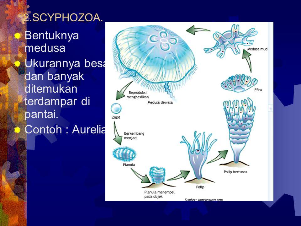 2.SCYPHOZOA.  Bentuknya medusa  Ukurannya besar dan banyak ditemukan terdampar di pantai.  Contoh : Aurelia