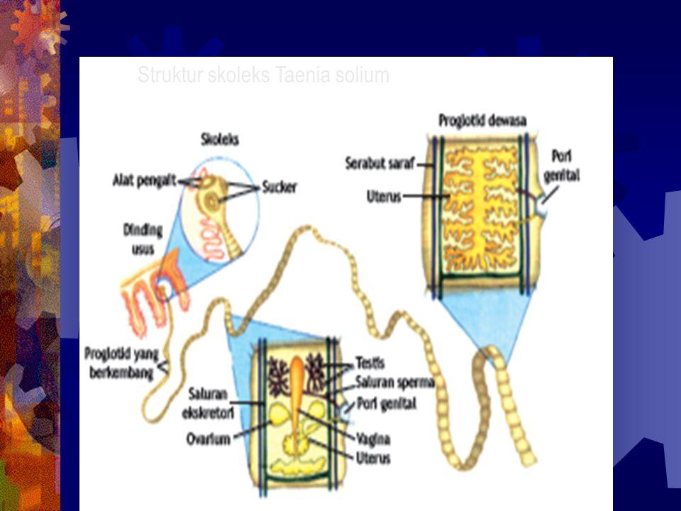 Struktur skoleks Taenia solium
