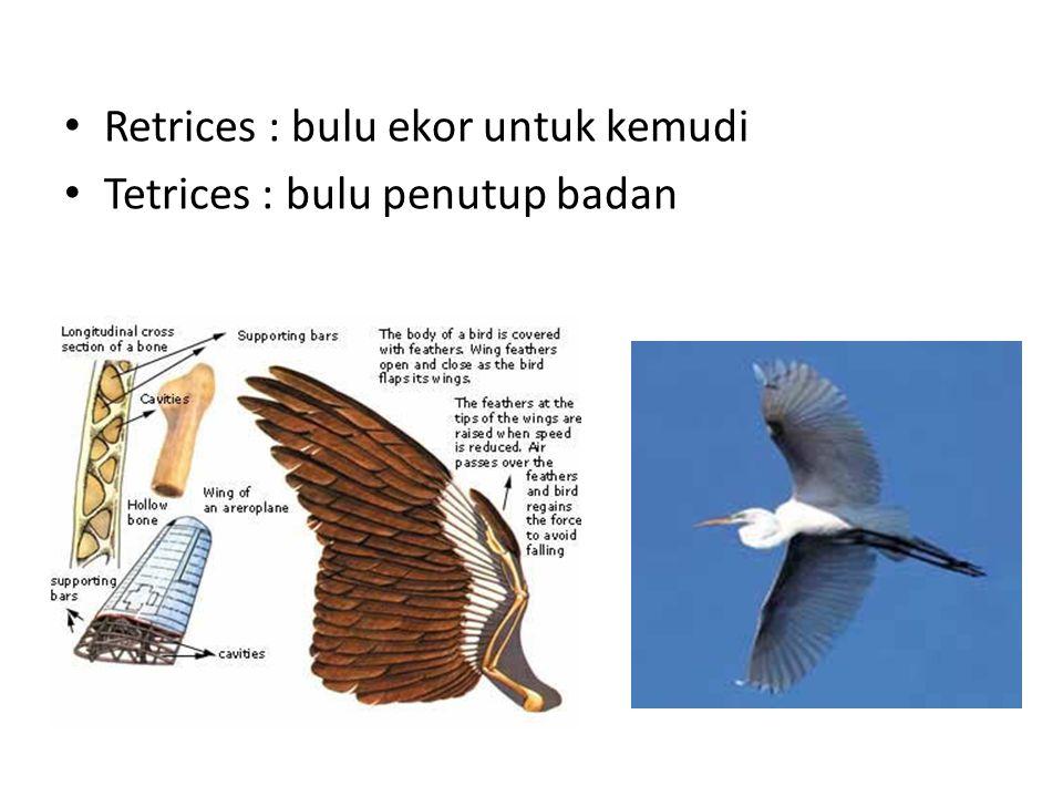 Retrices : bulu ekor untuk kemudi Tetrices : bulu penutup badan