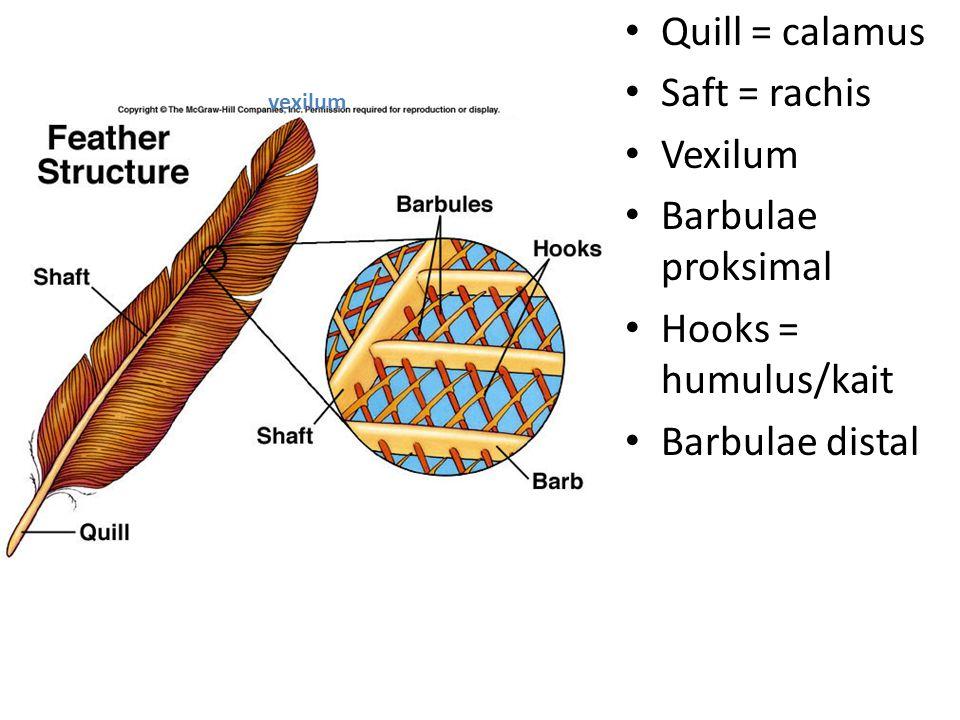 Quill = calamus Saft = rachis Vexilum Barbulae proksimal Hooks = humulus/kait Barbulae distal vexilum