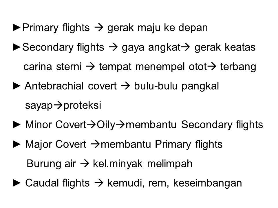 ►Primary flights  gerak maju ke depan ►Secondary flights  gaya angkat  gerak keatas carina sterni  tempat menempel otot  terbang ► Antebrachial c