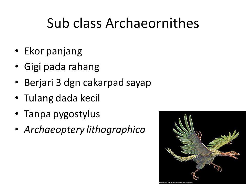 Sub class Archaeornithes Ekor panjang Gigi pada rahang Berjari 3 dgn cakarpad sayap Tulang dada kecil Tanpa pygostylus Archaeoptery lithographica
