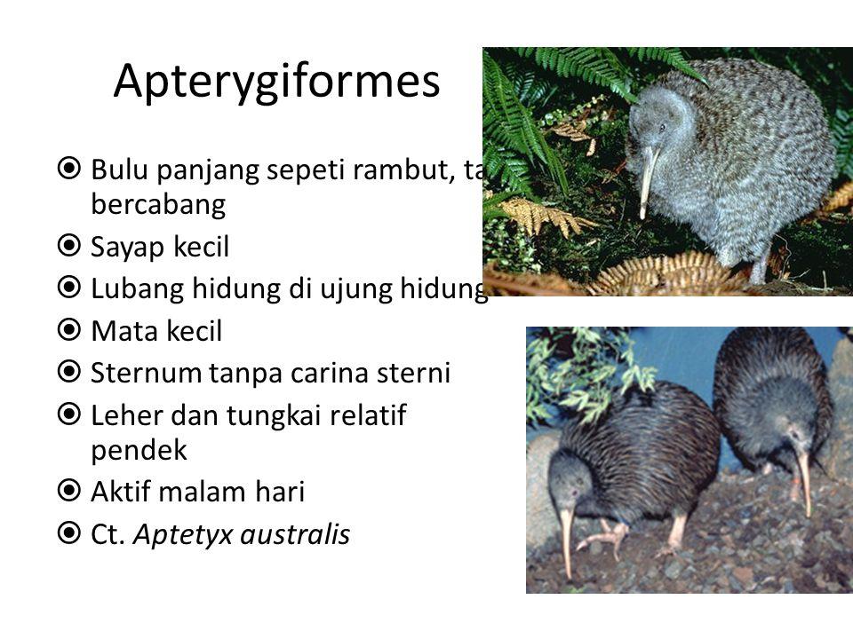 Apterygiformes  Bulu panjang sepeti rambut, tak bercabang  Sayap kecil  Lubang hidung di ujung hidung  Mata kecil  Sternum tanpa carina sterni  Leher dan tungkai relatif pendek  Aktif malam hari  Ct.