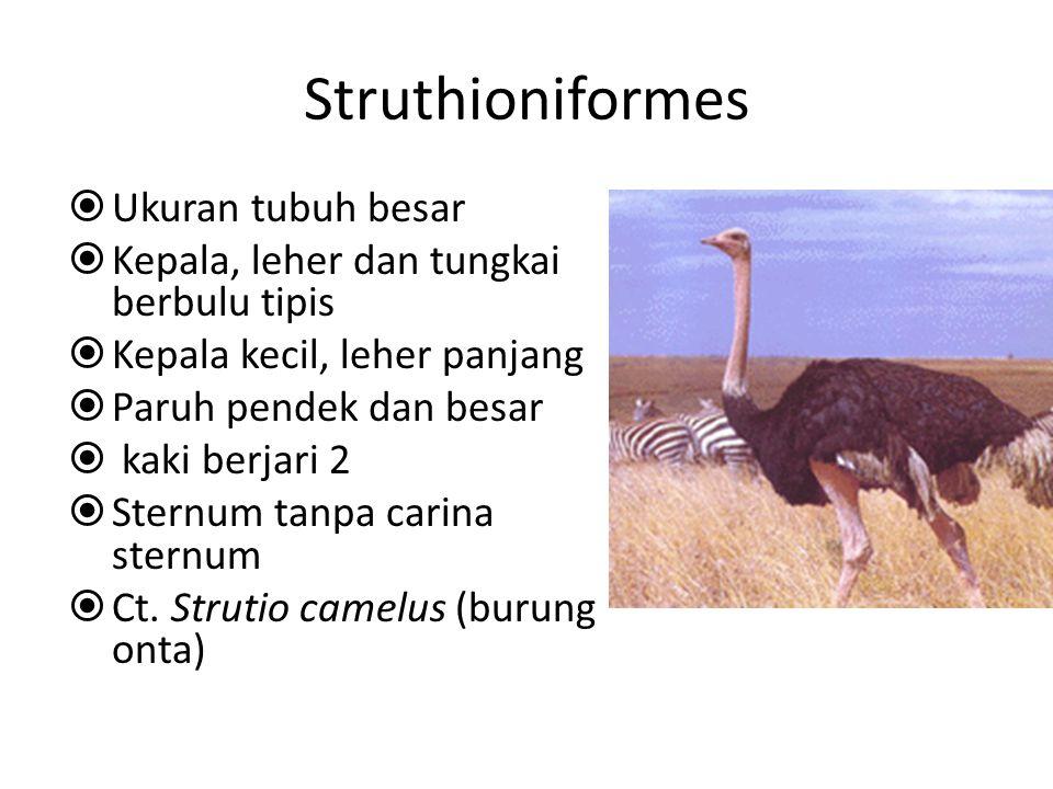 Struthioniformes  Ukuran tubuh besar  Kepala, leher dan tungkai berbulu tipis  Kepala kecil, leher panjang  Paruh pendek dan besar  kaki berjari 2  Sternum tanpa carina sternum  Ct.
