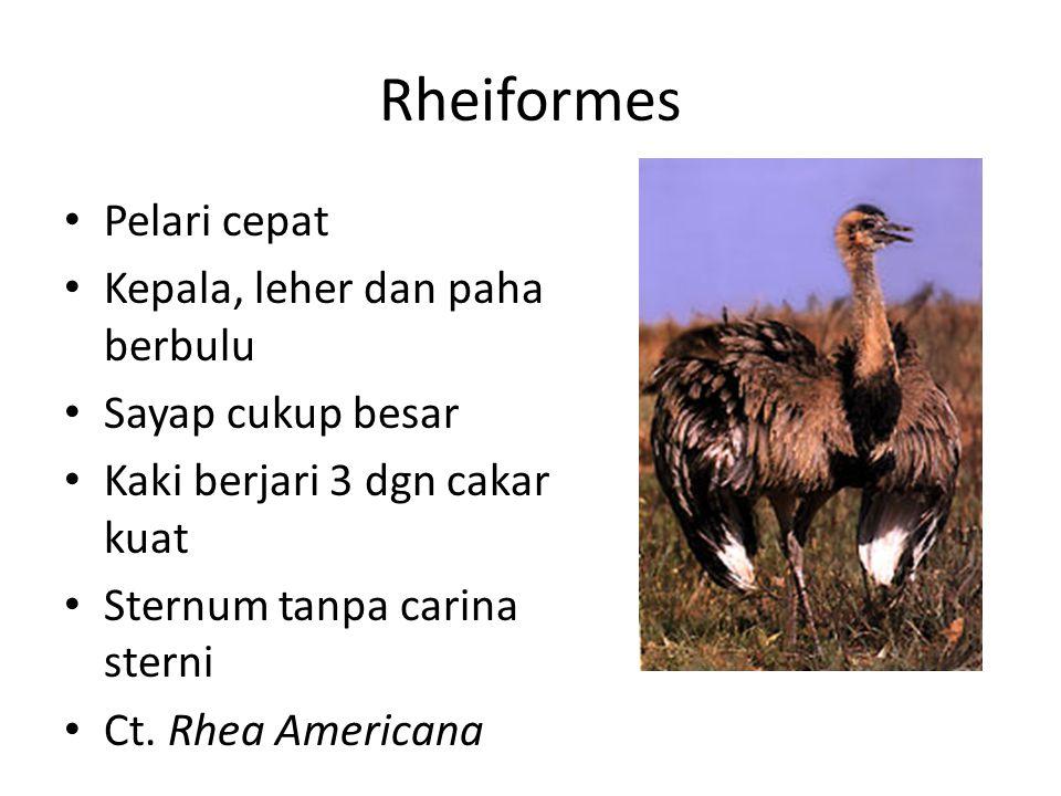 Rheiformes Pelari cepat Kepala, leher dan paha berbulu Sayap cukup besar Kaki berjari 3 dgn cakar kuat Sternum tanpa carina sterni Ct. Rhea Americana