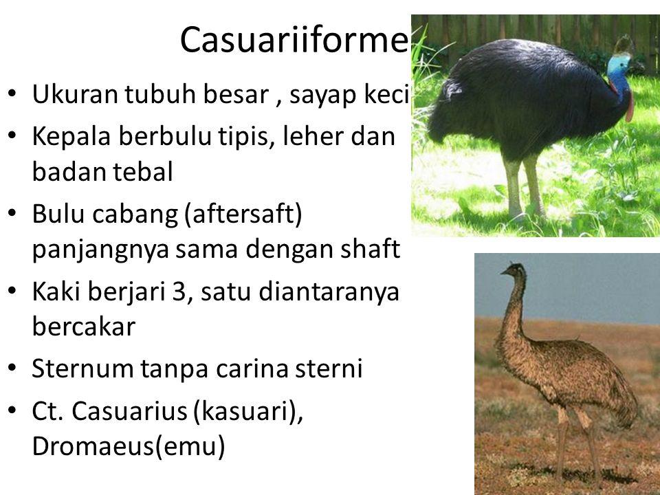 Casuariiformes Ukuran tubuh besar, sayap kecil Kepala berbulu tipis, leher dan badan tebal Bulu cabang (aftersaft) panjangnya sama dengan shaft Kaki berjari 3, satu diantaranya bercakar Sternum tanpa carina sterni Ct.