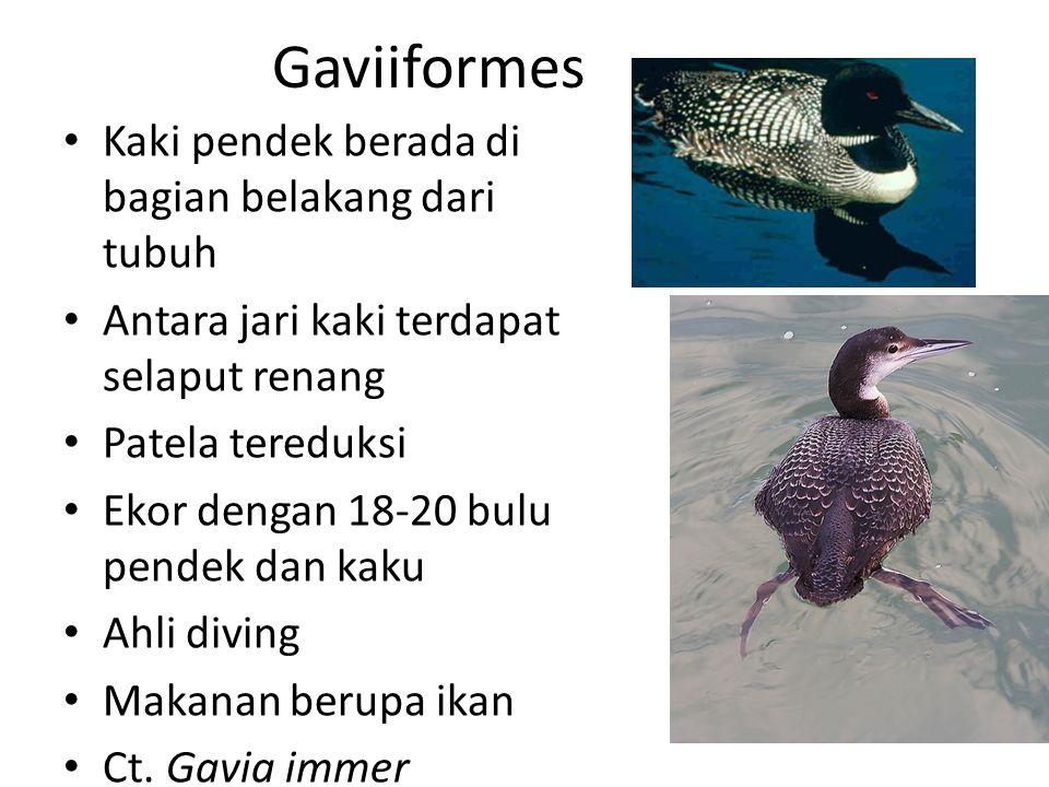 Gaviiformes Kaki pendek berada di bagian belakang dari tubuh Antara jari kaki terdapat selaput renang Patela tereduksi Ekor dengan 18-20 bulu pendek dan kaku Ahli diving Makanan berupa ikan Ct.