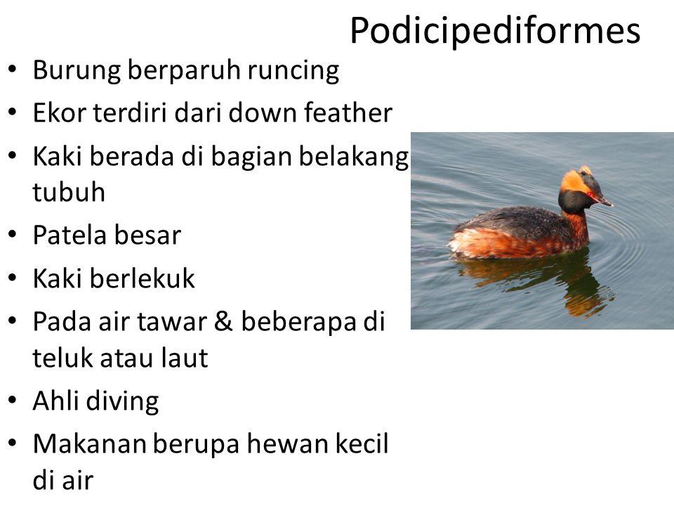 Podicipediformes Burung berparuh runcing Ekor terdiri dari down feather Kaki berada di bagian belakang tubuh Patela besar Kaki berlekuk Pada air tawar & beberapa di teluk atau laut Ahli diving Makanan berupa hewan kecil di air Ct.