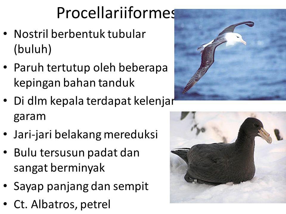 Procellariiformes Nostril berbentuk tubular (buluh) Paruh tertutup oleh beberapa kepingan bahan tanduk Di dlm kepala terdapat kelenjar garam Jari-jari belakang mereduksi Bulu tersusun padat dan sangat berminyak Sayap panjang dan sempit Ct.