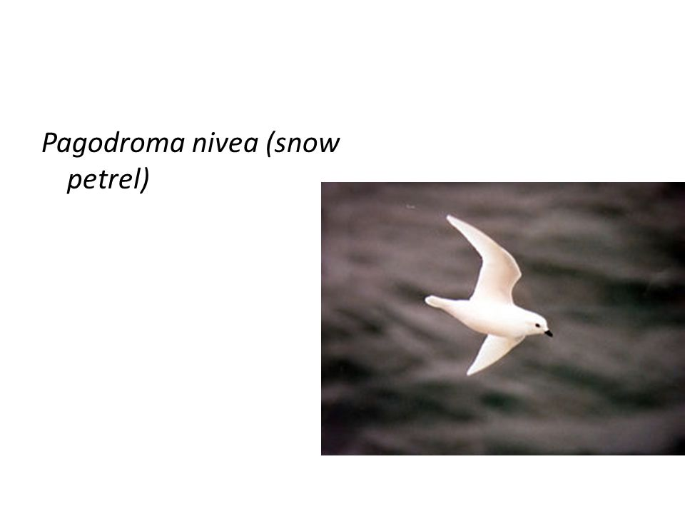 Pagodroma nivea (snow petrel)