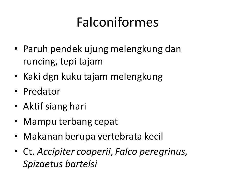 Falconiformes Paruh pendek ujung melengkung dan runcing, tepi tajam Kaki dgn kuku tajam melengkung Predator Aktif siang hari Mampu terbang cepat Makanan berupa vertebrata kecil Ct.
