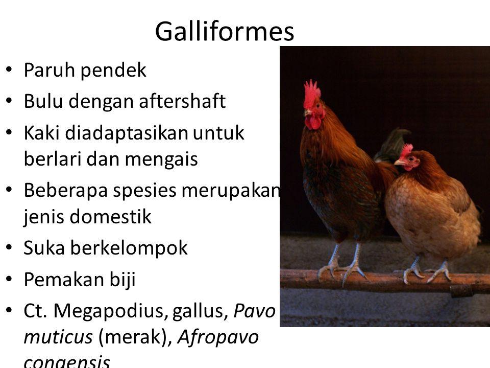 Galliformes Paruh pendek Bulu dengan aftershaft Kaki diadaptasikan untuk berlari dan mengais Beberapa spesies merupakan jenis domestik Suka berkelompok Pemakan biji Ct.