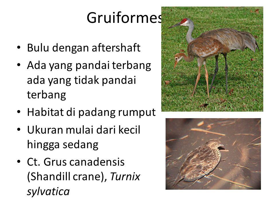 Gruiformes Bulu dengan aftershaft Ada yang pandai terbang ada yang tidak pandai terbang Habitat di padang rumput Ukuran mulai dari kecil hingga sedang