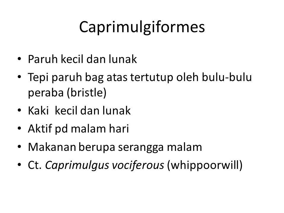Caprimulgiformes Paruh kecil dan lunak Tepi paruh bag atas tertutup oleh bulu-bulu peraba (bristle) Kaki kecil dan lunak Aktif pd malam hari Makanan berupa serangga malam Ct.