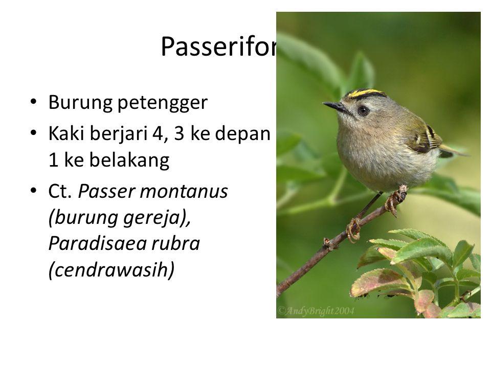 Passeriformes Burung petengger Kaki berjari 4, 3 ke depan 1 ke belakang Ct. Passer montanus (burung gereja), Paradisaea rubra (cendrawasih)