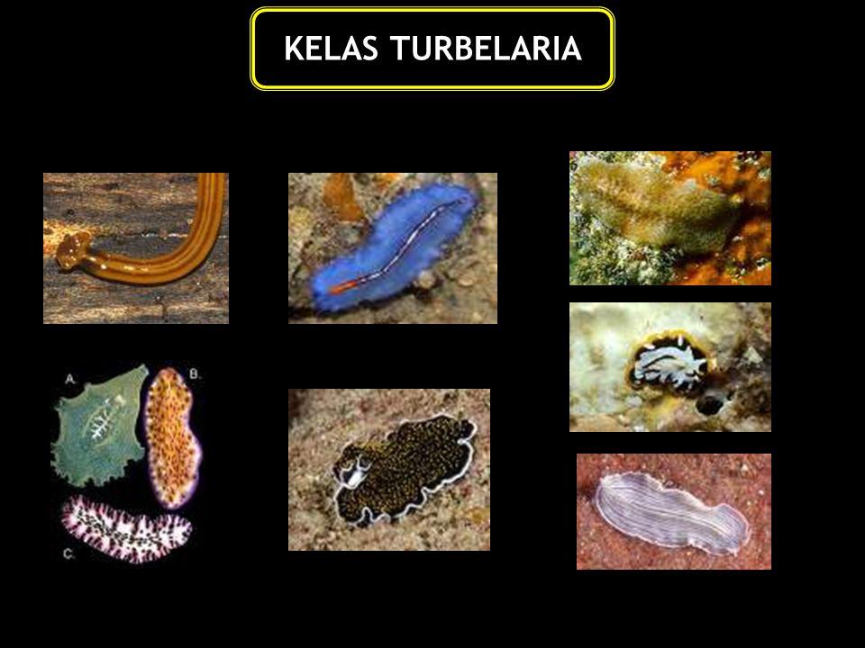 KELAS TURBELARIA