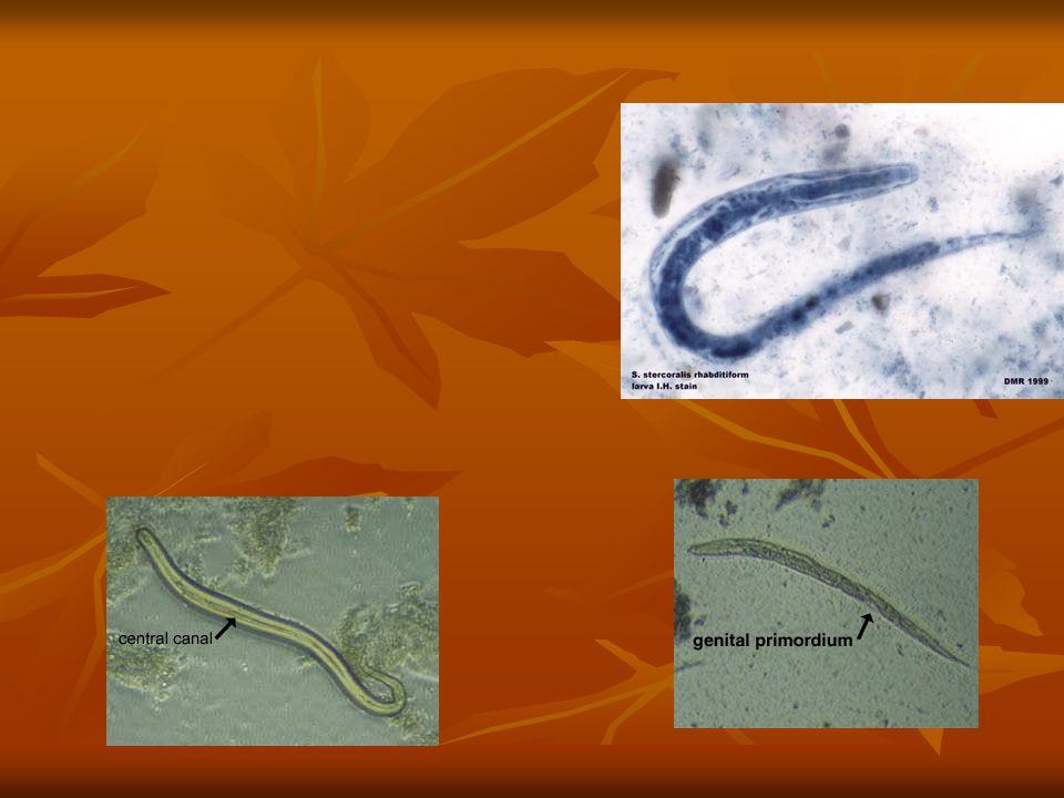 3. Autoinfeksi Larva rabditiform → larva filariform (terjadi kadang2 di usus atau di sekitar anus ) → menembus mukosa usus atau kulit perianal → daur
