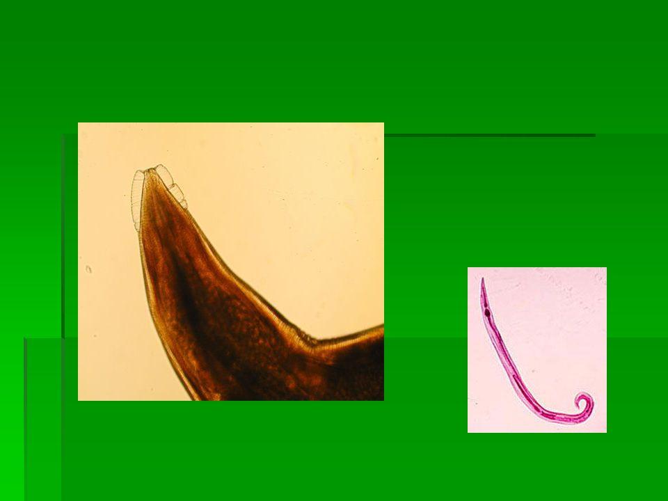 Morfologi dan daur hidup  betina uk; 8-13 mm x0,4 mm, anterior ada pelebaran kutikulum disebut alae. Bulbus esofagus jelas. Ekor runcing.  Jantan uk