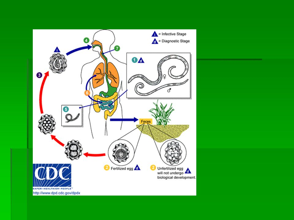 Morfologi dan daur hidup  Larva diparu => alveolus => trakea => faring, menimbulkan rangsangan => batuk => esofagus => usus halus  Di usus halus lar