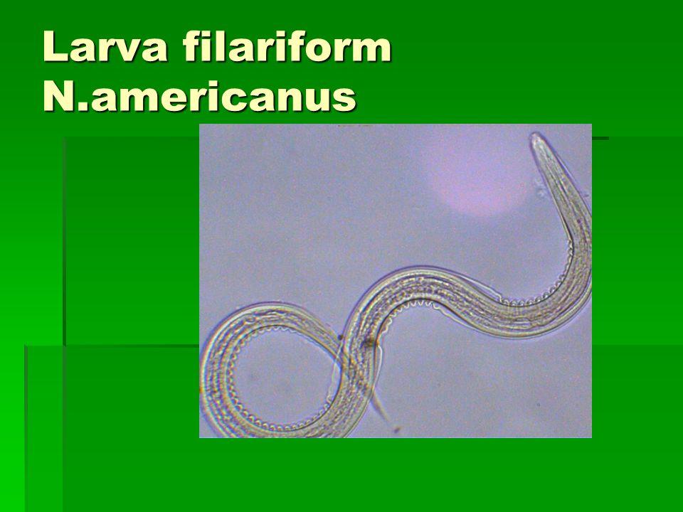 Larva rabditiform N.americanus