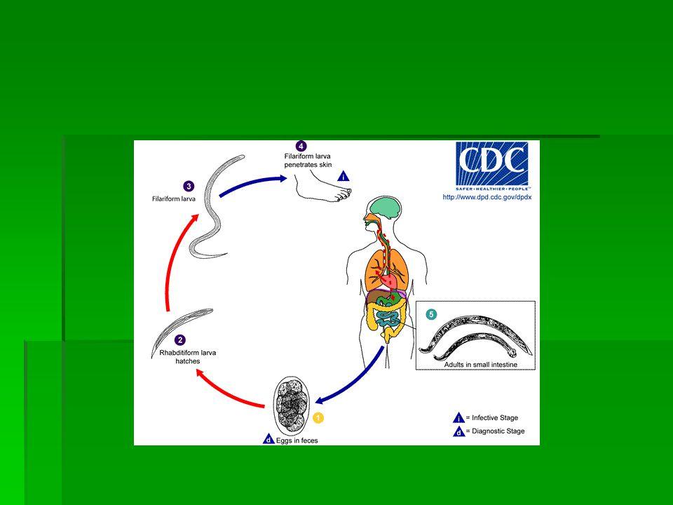 Morfologi dan daur hidup  Daur hidup : Telur => larva rabditiform => larva filariform => menembus kulit => kapiler darah => jantung kanan => paru =>