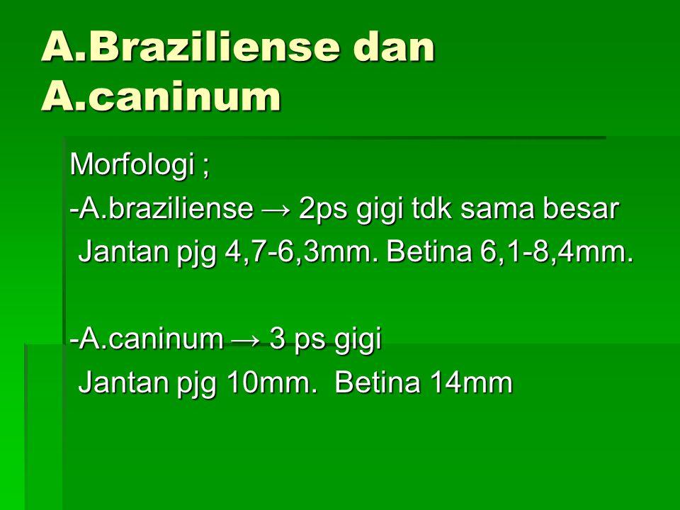 Ancylostoma braziliense Ancylostoma caninum H.Definitif : kucing dan anjing H.Definitif : kucing dan anjing Penyakit : Creeping eruption Penyakit : Cr