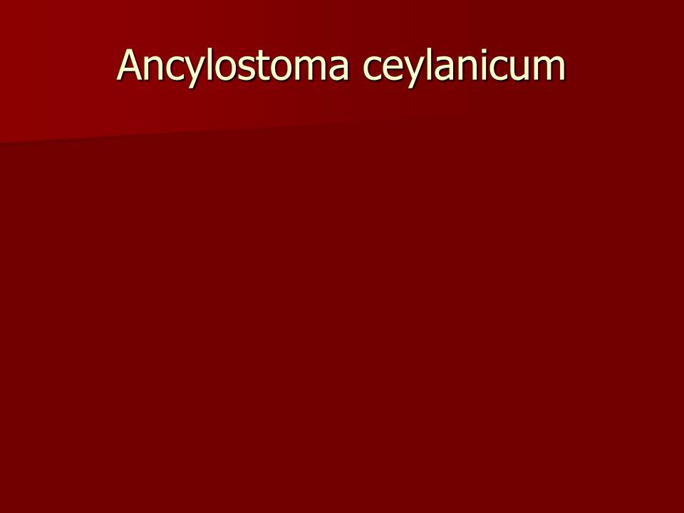Ancylostoma ceylanicum Dapat menjd dewasa pd manusia Dapat menjd dewasa pd manusia 2 ps gigi tidak sama besar 2 ps gigi tidak sama besar Di Jakarta; d