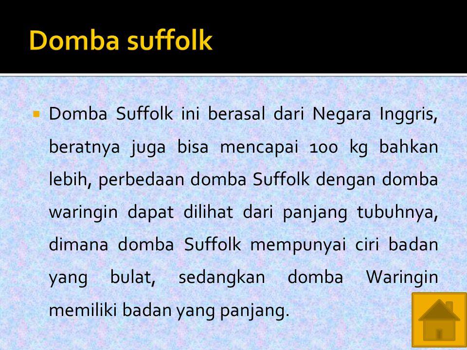  Domba Suffolk ini berasal dari Negara Inggris, beratnya juga bisa mencapai 100 kg bahkan lebih, perbedaan domba Suffolk dengan domba waringin dapat dilihat dari panjang tubuhnya, dimana domba Suffolk mempunyai ciri badan yang bulat, sedangkan domba Waringin memiliki badan yang panjang.