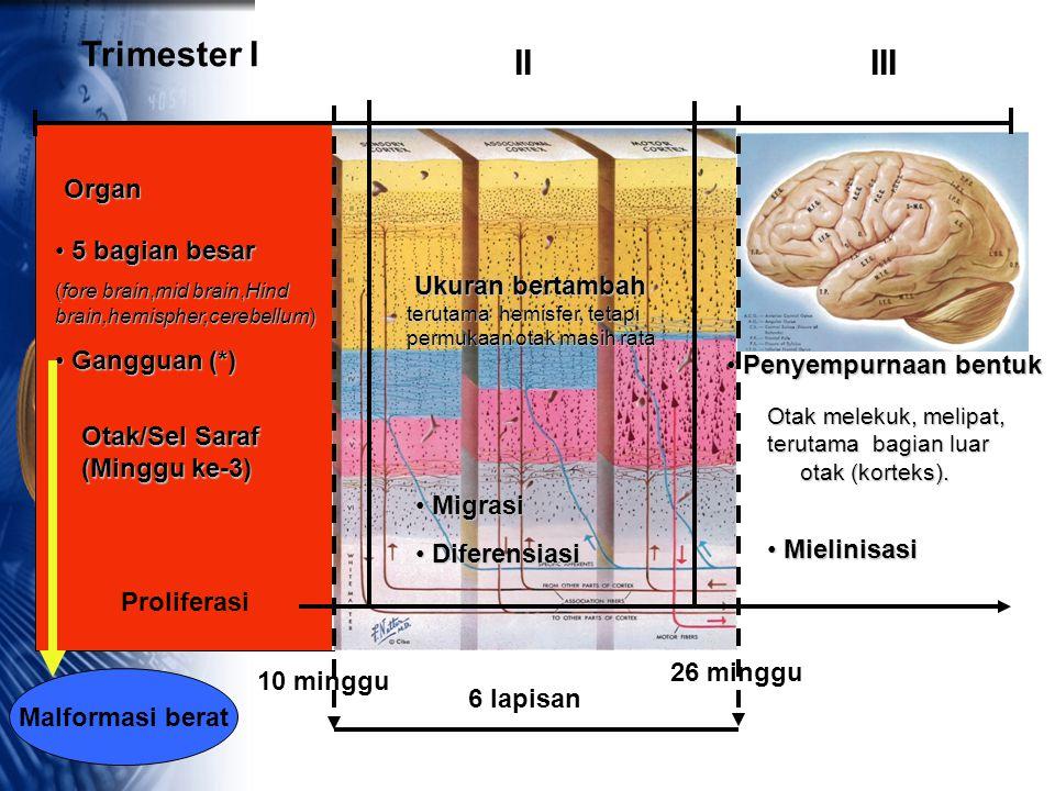 Trimester I IIIII Organ Otak/Sel Saraf (Minggu ke-3) 5 bagian besar 5 bagian besar (fore brain,mid brain,Hind brain,hemispher,cerebellum) Gangguan (*)