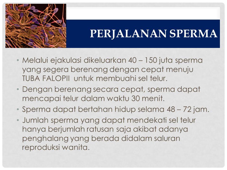 PERJALANAN SPERMA Melalui ejakulasi dikeluarkan 40 – 150 juta sperma yang segera berenang dengan cepat menuju TUBA FALOPII untuk membuahi sel telur. D