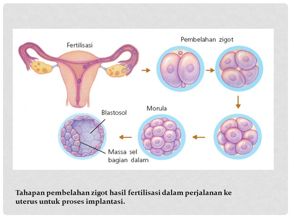 Tahapan pembelahan zigot hasil fertilisasi dalam perjalanan ke uterus untuk proses implantasi.