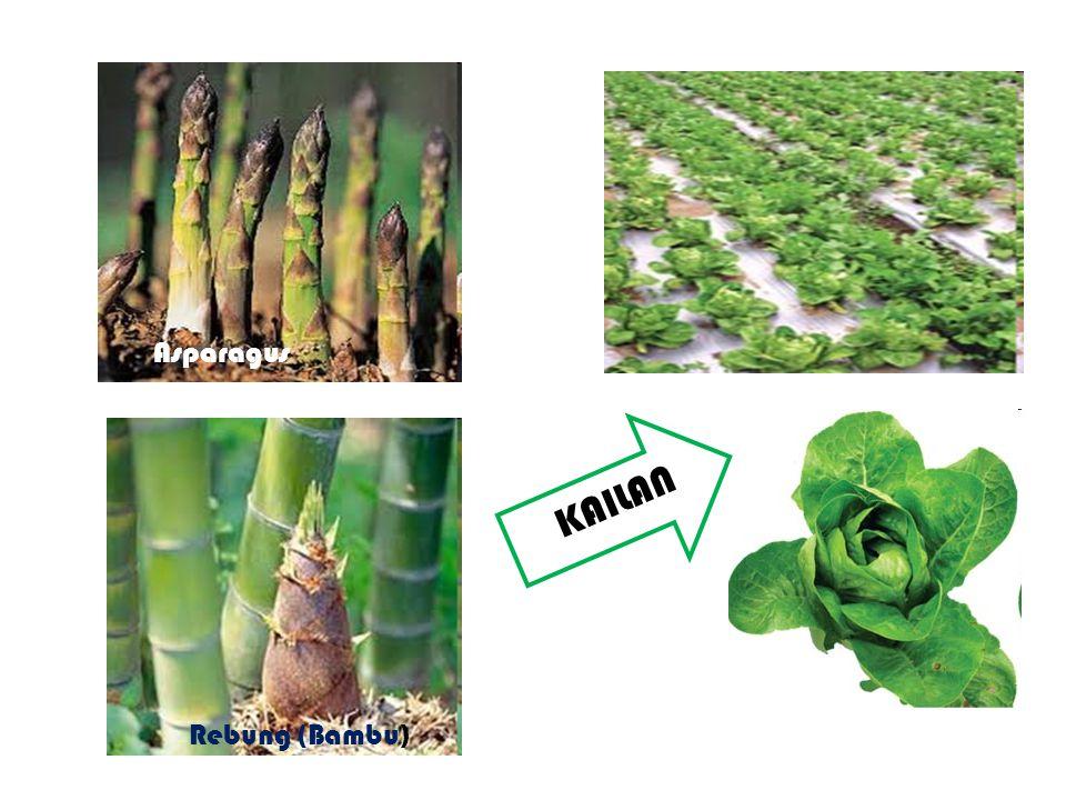 KAILAN Asparagus Rebung (Bambu)