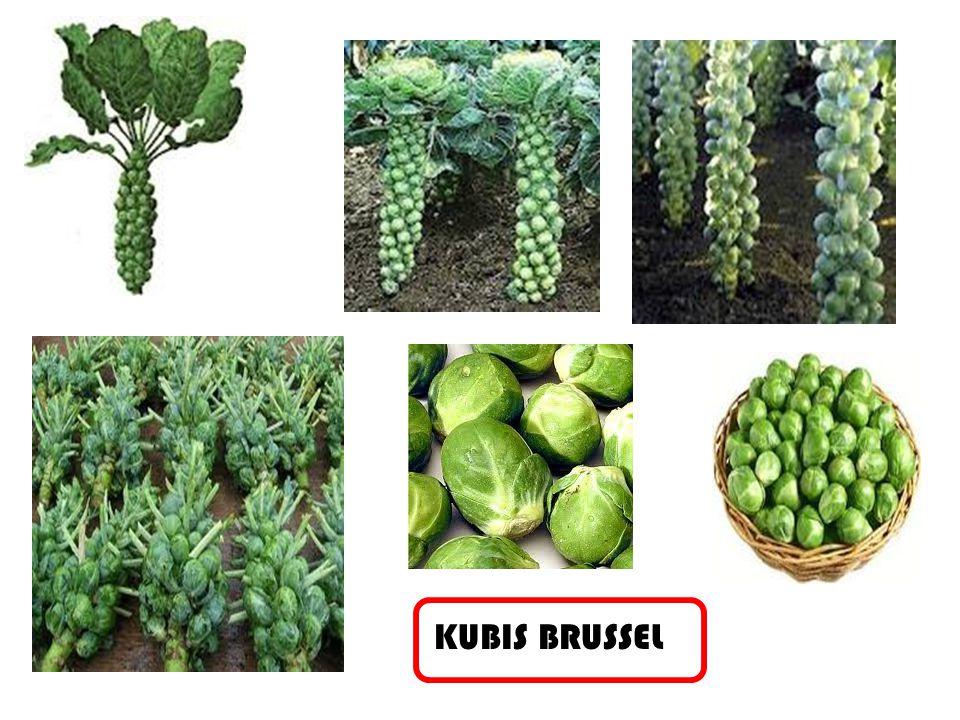 KUBIS BRUSSEL