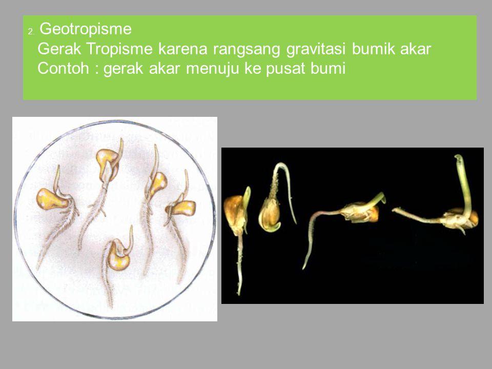 2. Geotropisme Gerak Tropisme karena rangsang gravitasi bumik akar Contoh : gerak akar menuju ke pusat bumi