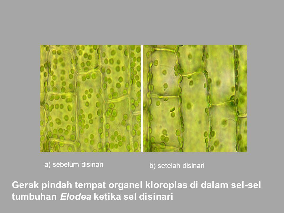 a) sebelum disinari b) setelah disinari Gerak pindah tempat organel kloroplas di dalam sel-sel tumbuhan Elodea ketika sel disinari