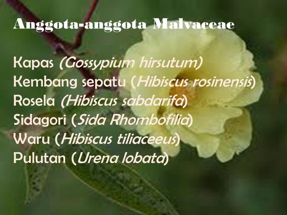 Anggota-anggota Malvaceae Kapas (Gossypium hirsutum) Kembang sepatu (Hibiscus rosinensis) Rosela (Hibiscus sabdarifa) Sidagori (Sida Rhombofilia) Waru
