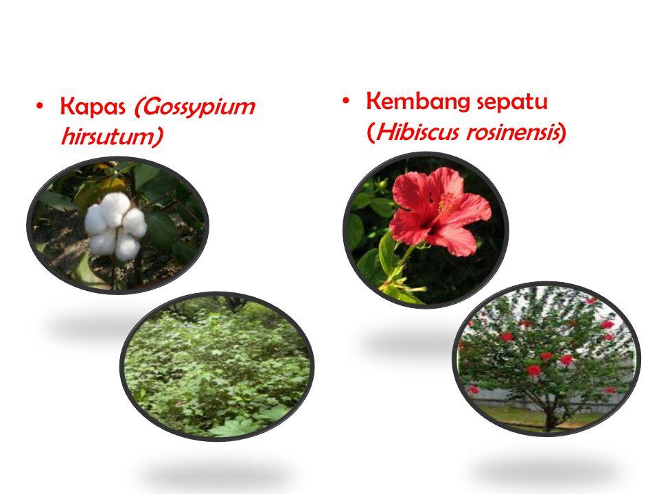 Kapas (Gossypium hirsutum) Kembang sepatu (Hibiscus rosinensis)